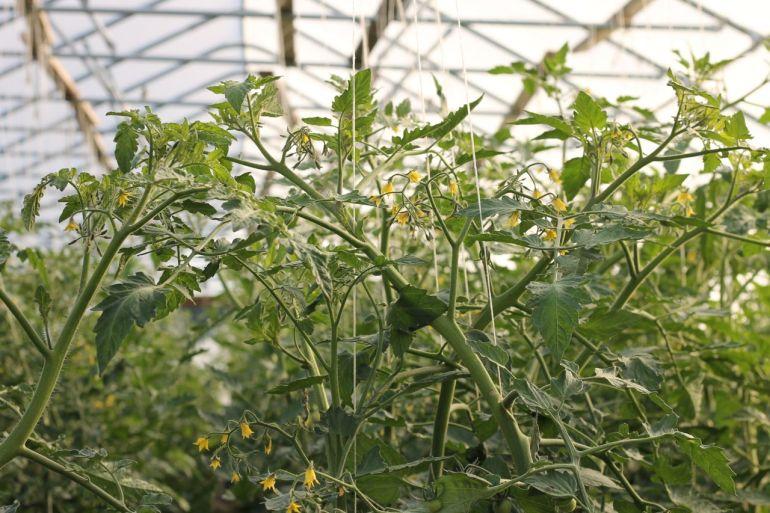 tomatoestall