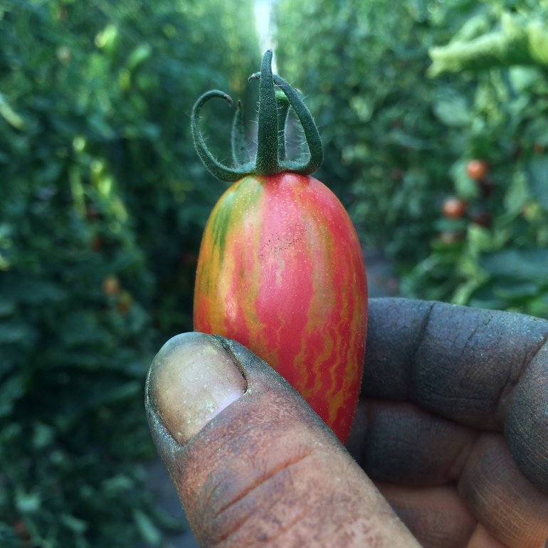 tomato-in-hands